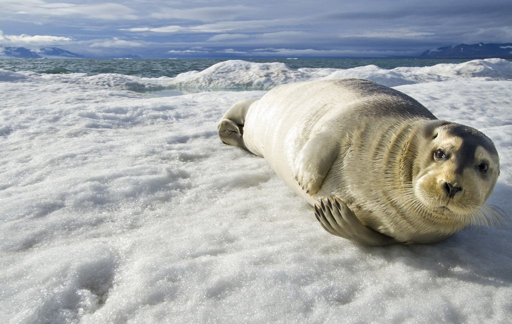 Detail of Bearded Seal, Svalbard, Norway by Corbis