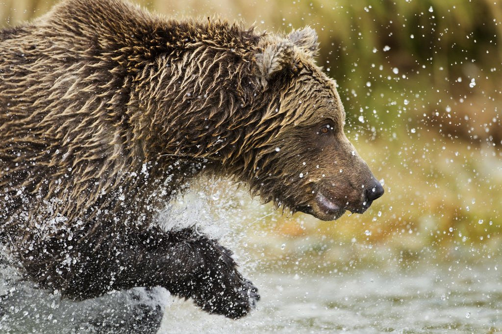Detail of Brown Bear, Katmai National Park, Alaska by Corbis