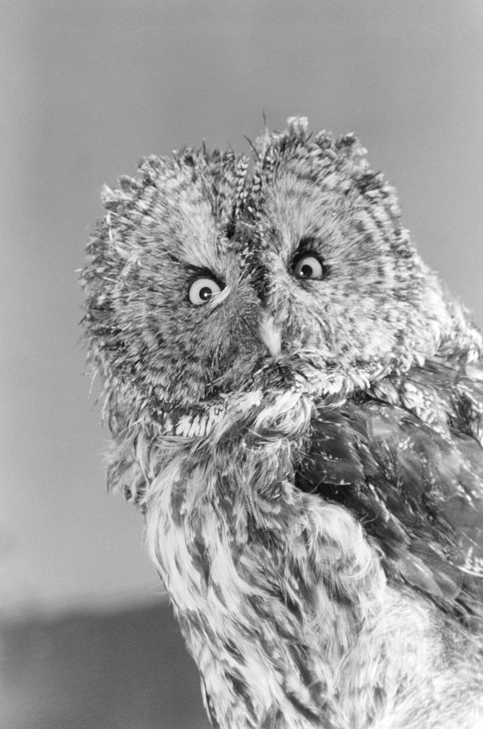 Detail of Great gray owl strix nebulosa staring at camera by Corbis
