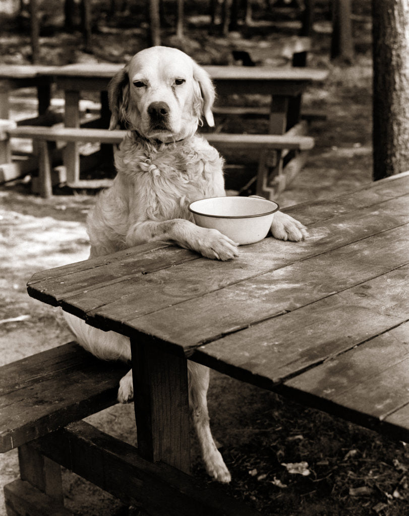 Detail of 1930s dog mixed breed sitting like human being at outdoor picnic table by Corbis
