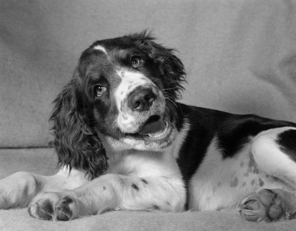 Detail of 1950s springer spaniel lying down with head cocked & mouth open looking at camera by Corbis