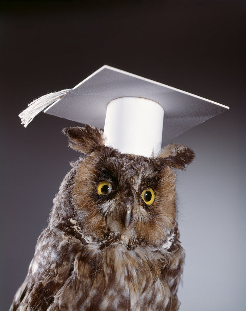 Detail of 1990s wise old owl wearing white mortarboard graduation cap by Corbis