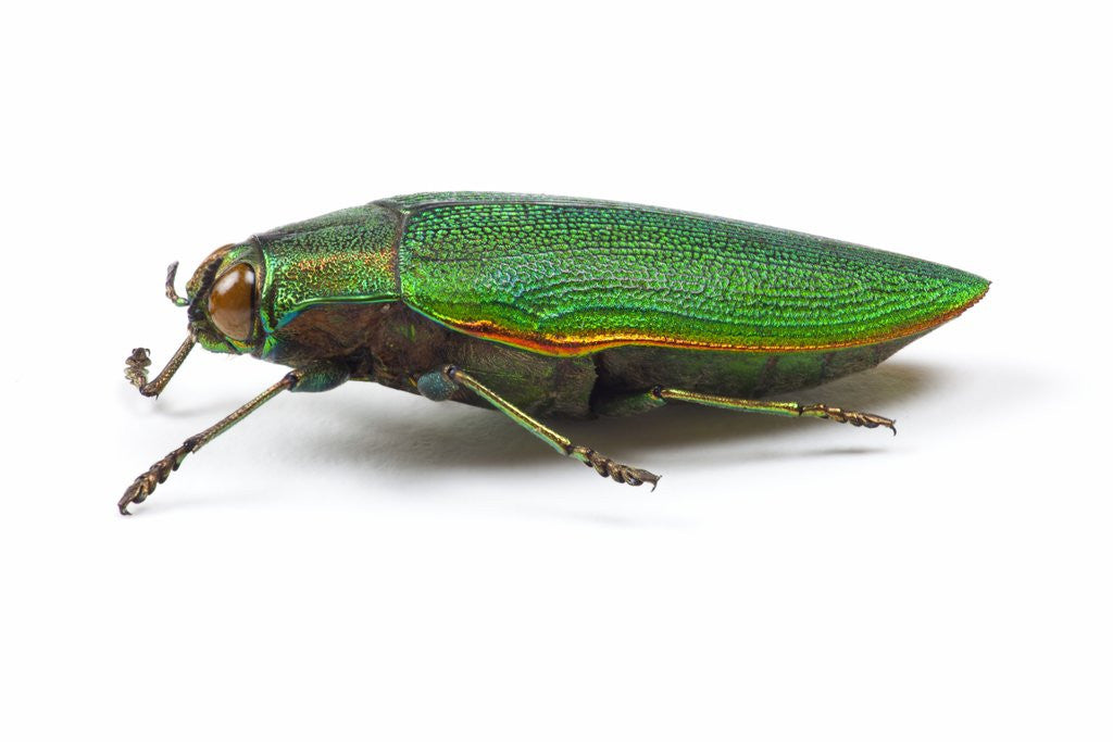 Detail of Side view of Jewel Beetle Steraspis speciosa green by Corbis