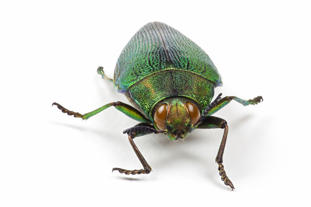Detail of Head on view of Jewel Beetle Steraspis speciosa green by Corbis