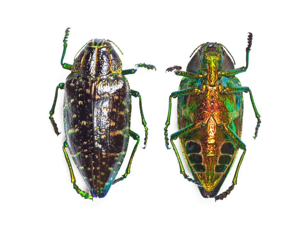 Detail of Jewel beetle Poloybothris sumptuosa sumptuosa by Corbis