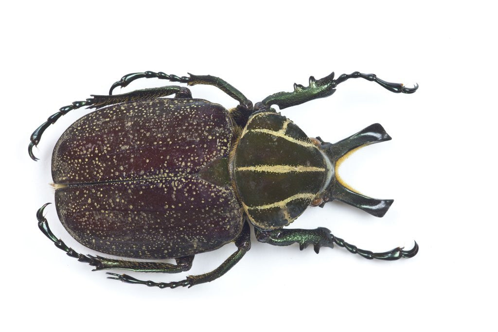 Detail of Large beetle from Mexico, Inca clathrata sommeri by Corbis