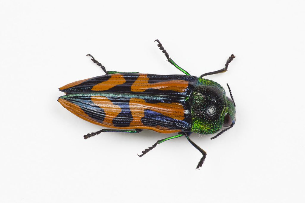 Detail of Small beetle Conognatha errata from Chile by Corbis