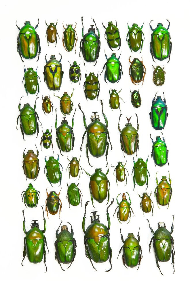Detail of All Green Flower Beetles in design layout against white backdrop by Corbis