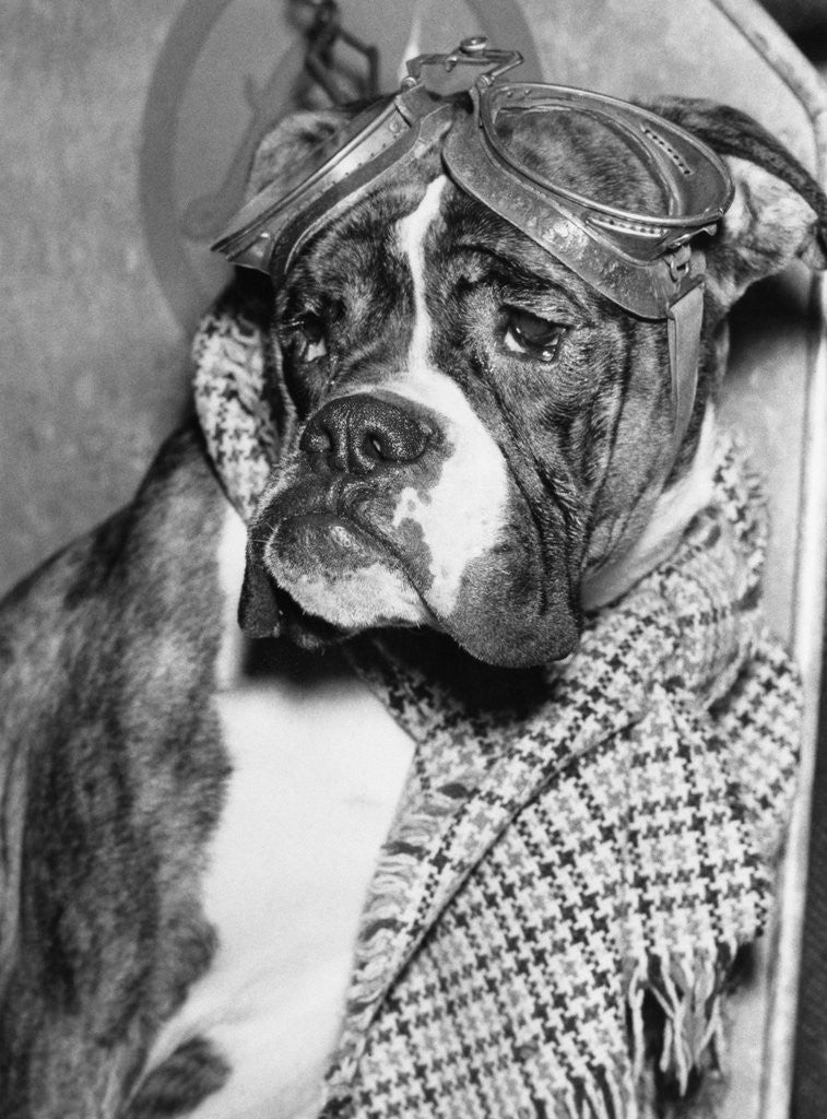 Detail of Cute wrinkled boxer dog dressed-up in checked scarf and goggles by Corbis