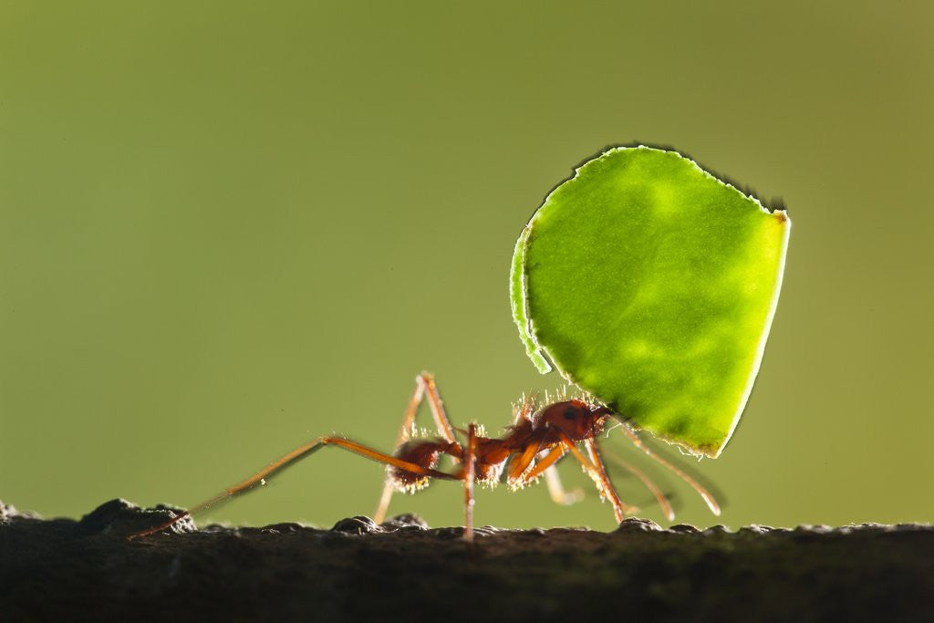 Detail of Leafcutter Ant, Costa Rica by Corbis