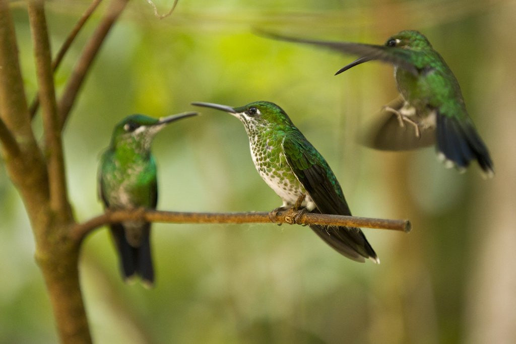 Detail of Hummingbirds, Costa Rica by Corbis