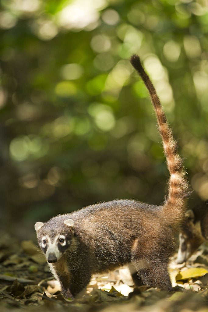 Detail of Coati, Costa Rica by Corbis