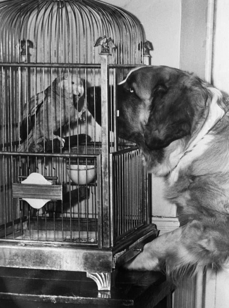 Detail of Dog looking at parrot in cage by Corbis