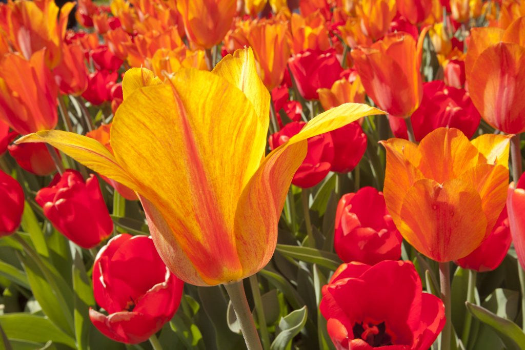 Detail of Tulips in bloom by Corbis