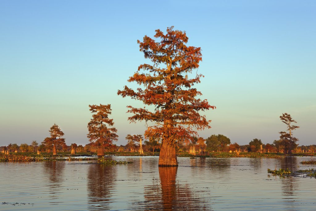 Detail of Cypress trees at sunset, Bayou, New Orleans, Louisiana, USA by Corbis