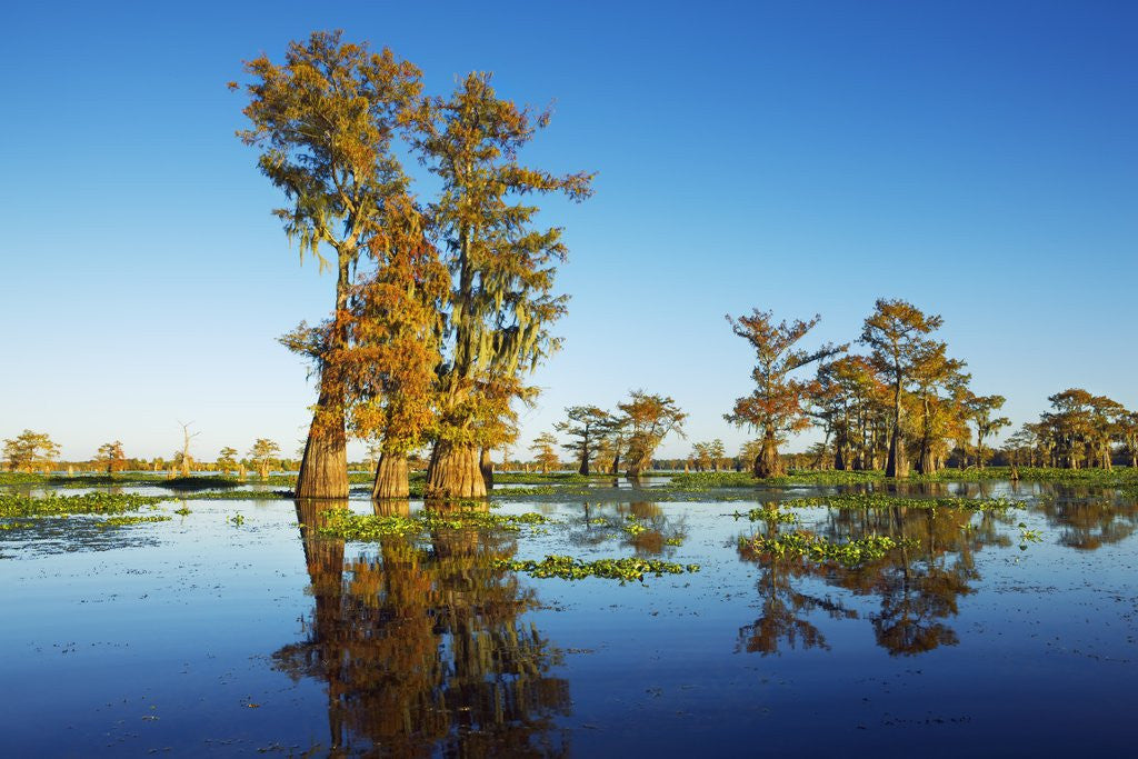 Detail of Cypress trees in autumn colors, Bayou, New Orleans, Louisiana, USA by Corbis