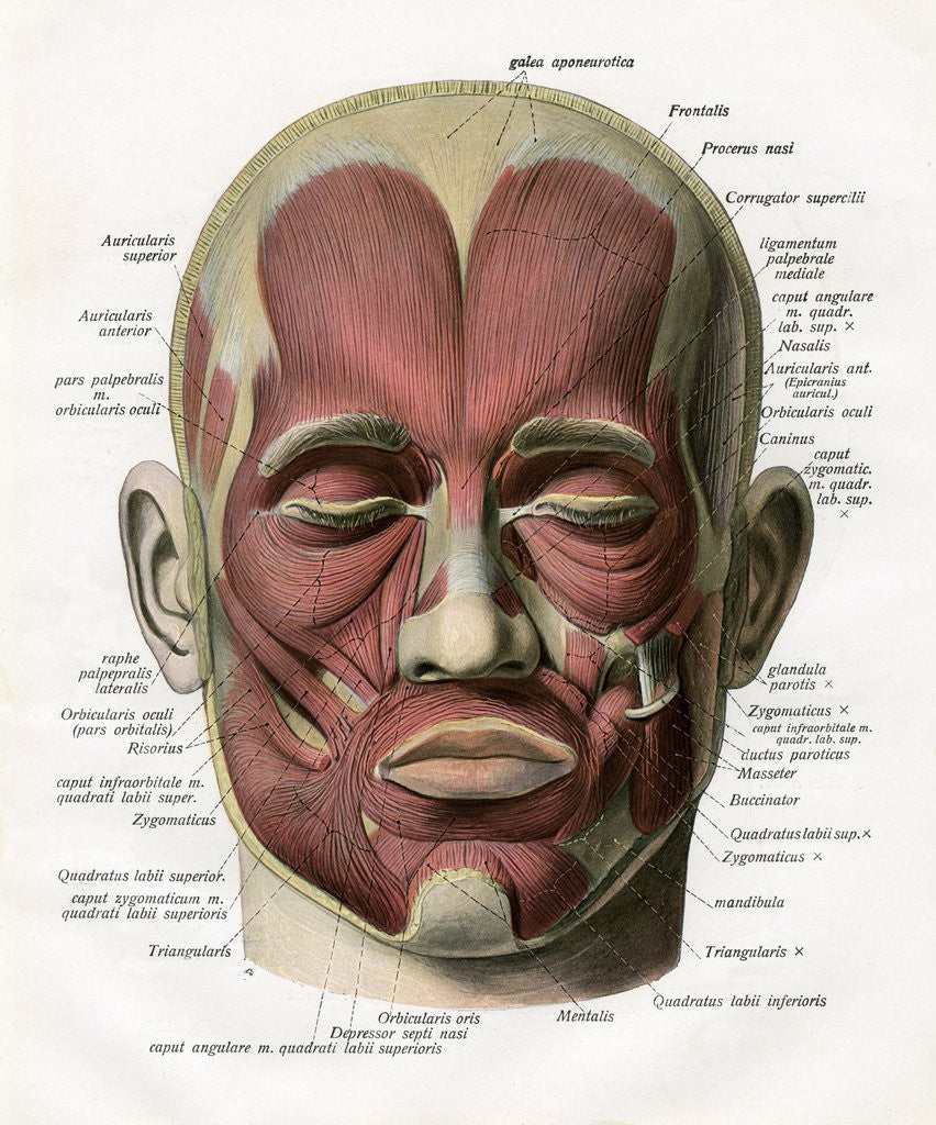 Frontal View Of The Muscles Of The Human Face Posters Prints By Corbis