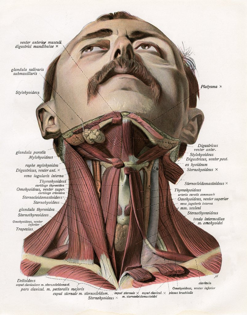 Frontal View Of The Muscles And Glands Of The Human Neck Posters