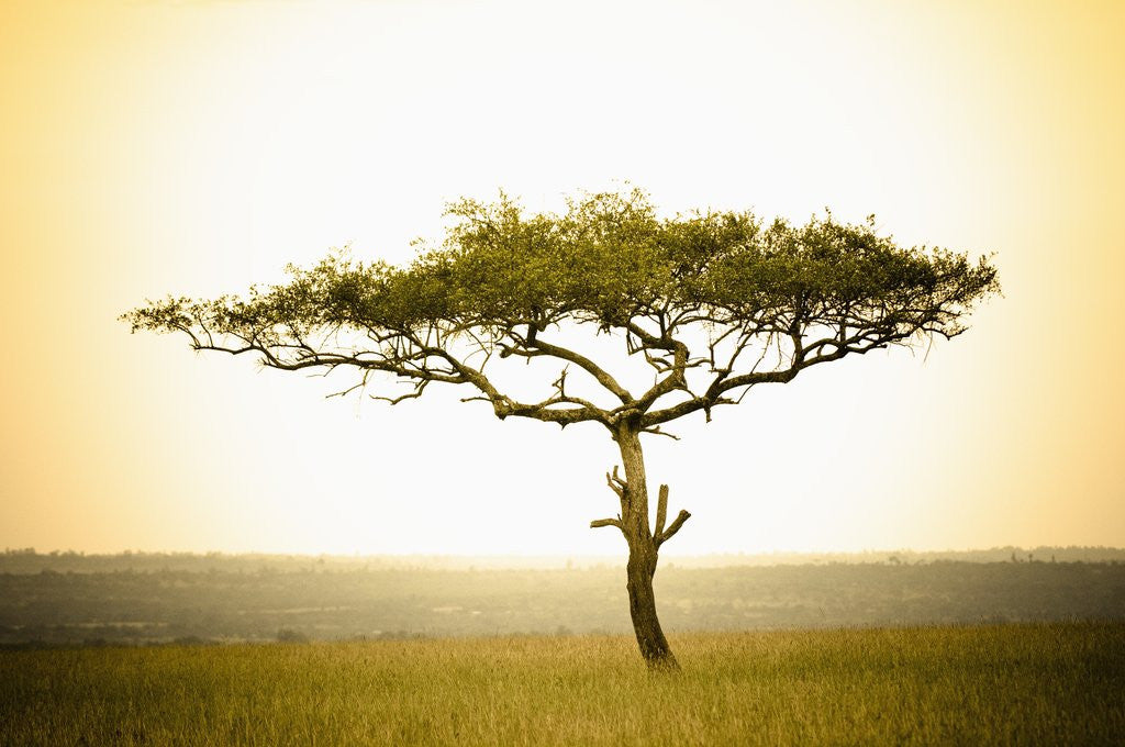 Detail of Acacia, Masai Mara, Kenya by Corbis