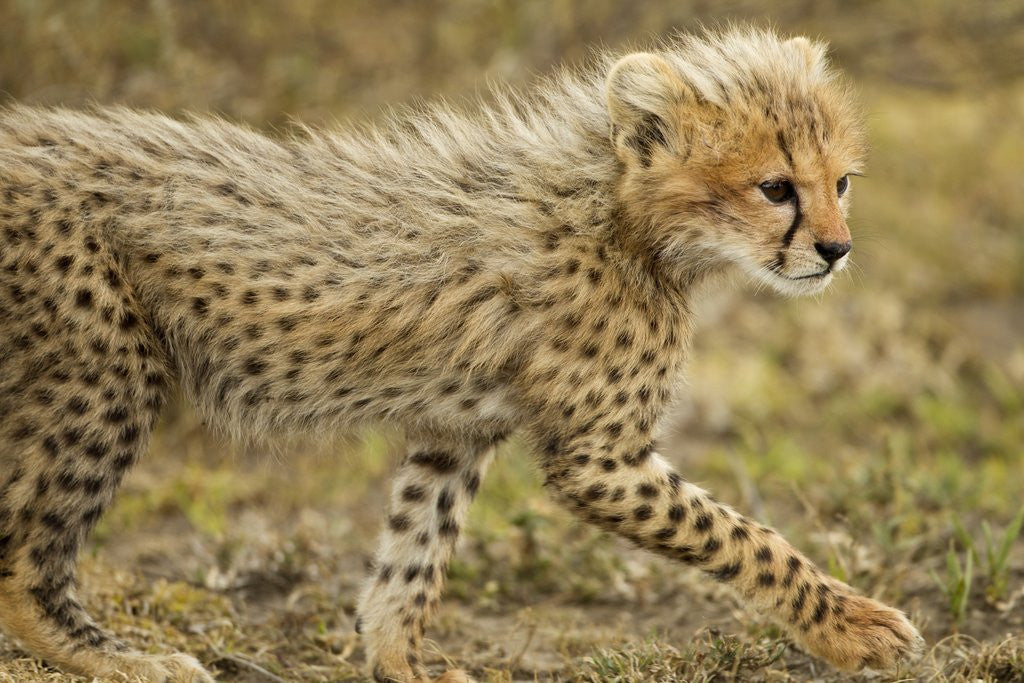 Detail of Cheetah Cub, Ngorongoro Conservation Area, Tanzania by Corbis