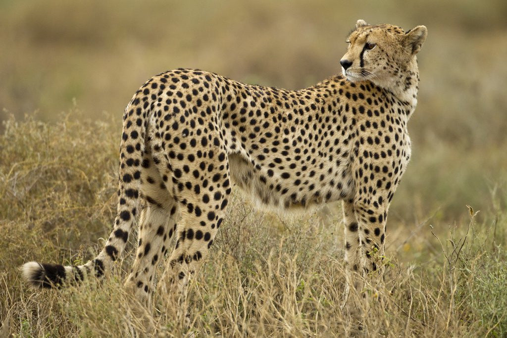 Detail of Cheetah, Ngorongoro Conservation Area, Tanzania by Corbis