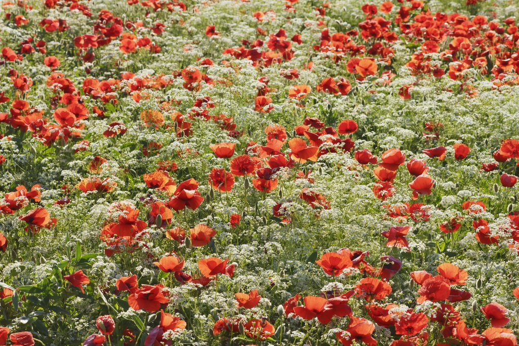Detail of Corn poppy (papaver rhoeas) and cow parsley in resting field by Corbis