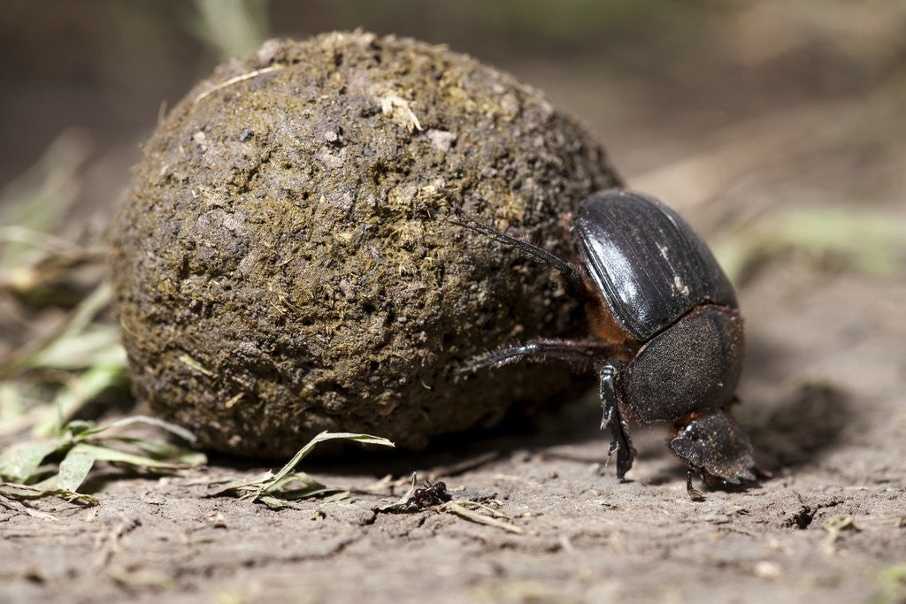Detail of Dung Beetle by Corbis