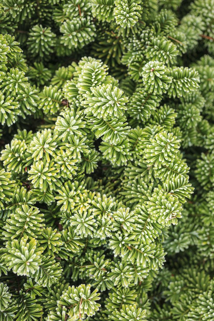 Detail of Spruce Shrub close-up, Washington, USA by Corbis