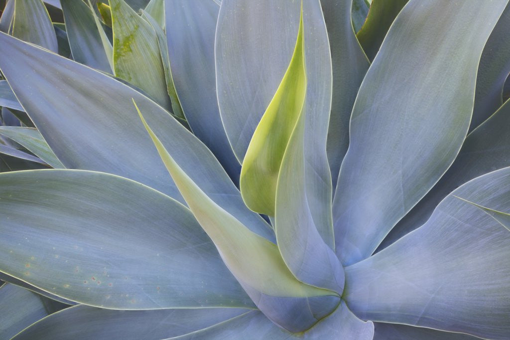 Detail of Agave Plants on the Island of Maui by Corbis