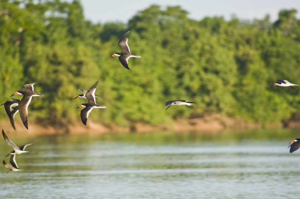 Detail of Birds flying over Rio Cuyaba, Mato Grosso, Brazil by Corbis