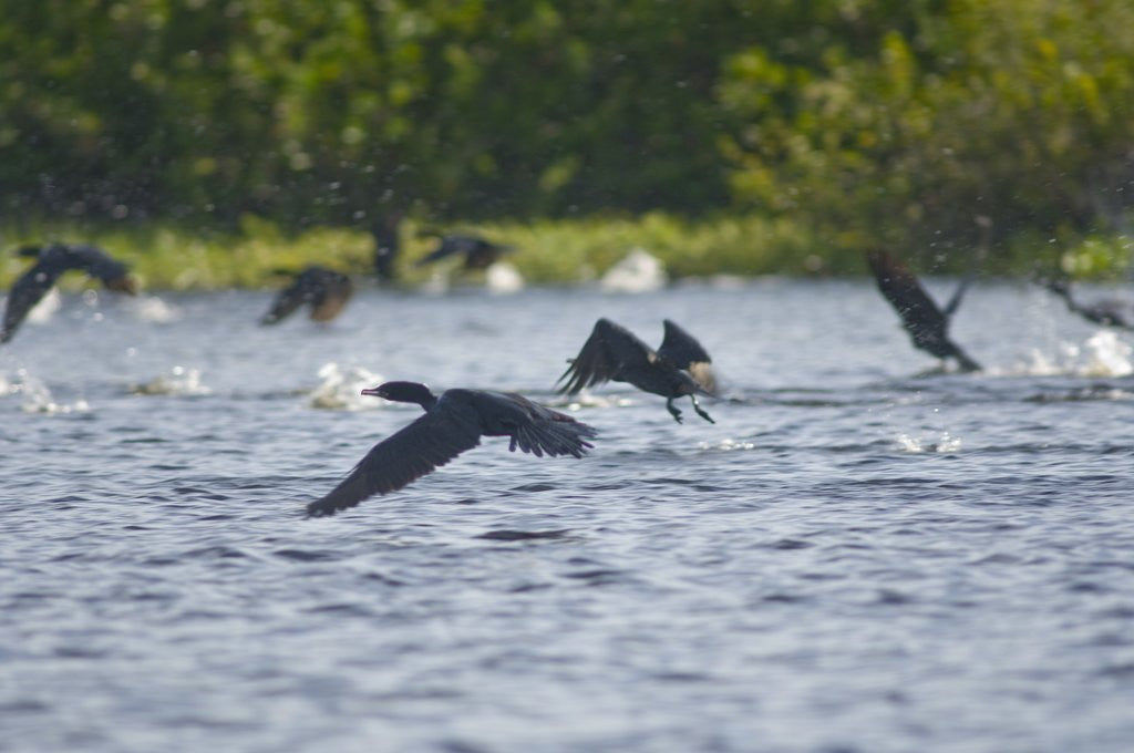 Detail of Cormorans flying over river, Mato Grosso, Brazil by Corbis