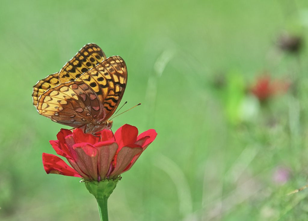 Detail of Greater fritillaries butterfly on flower by Corbis