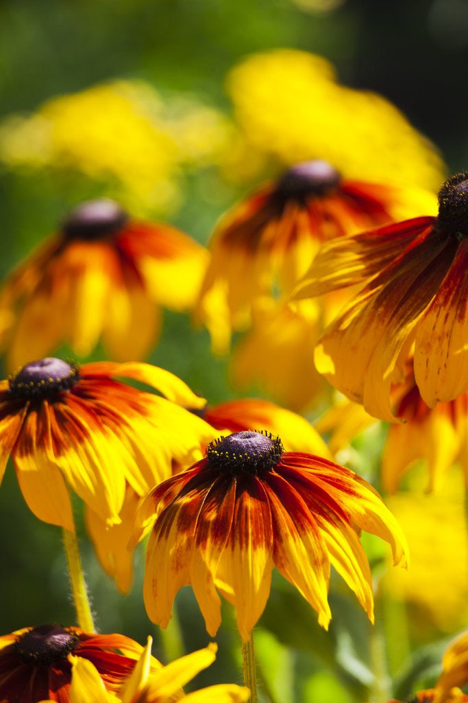 Detail of Cherokee Sunset Cone Flowers in Bloom by Corbis