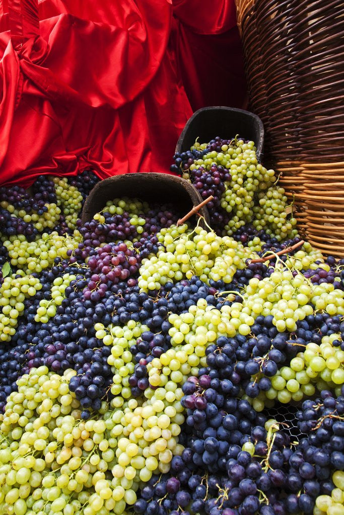 Detail of Fresh Grapes at Harvest Festival by Corbis