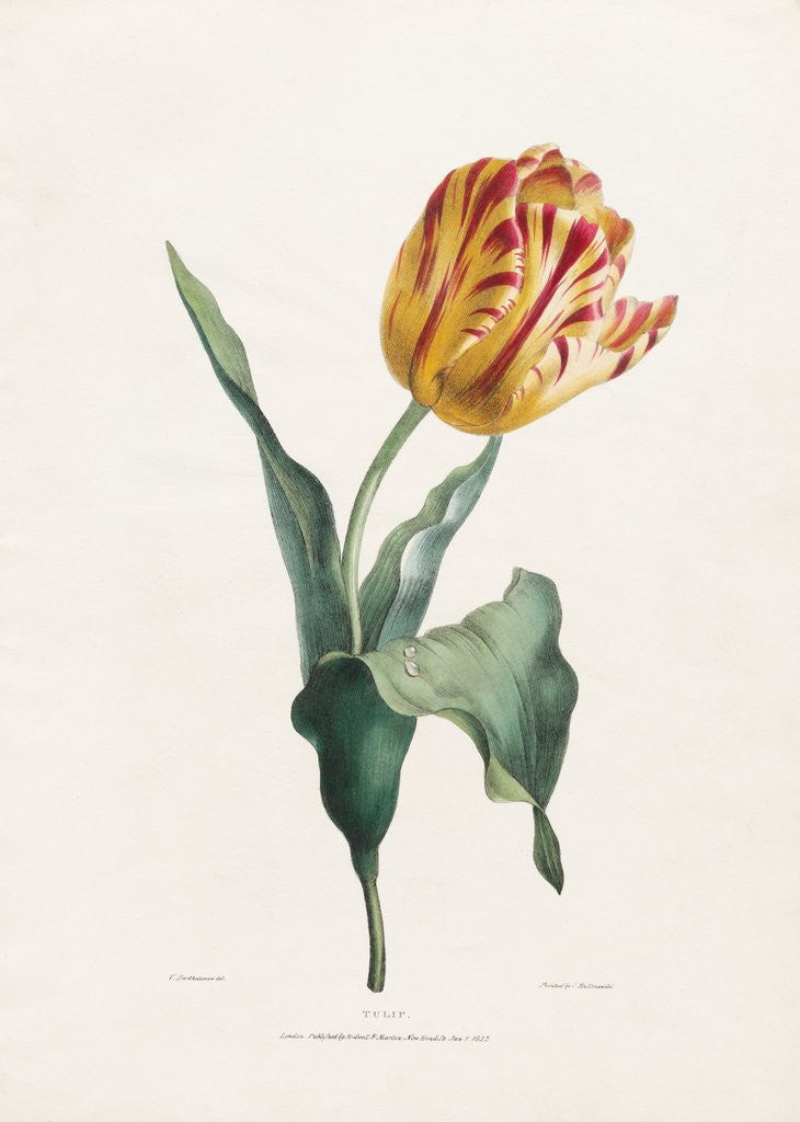 Detail of Tulip by Valentine Bartholomew