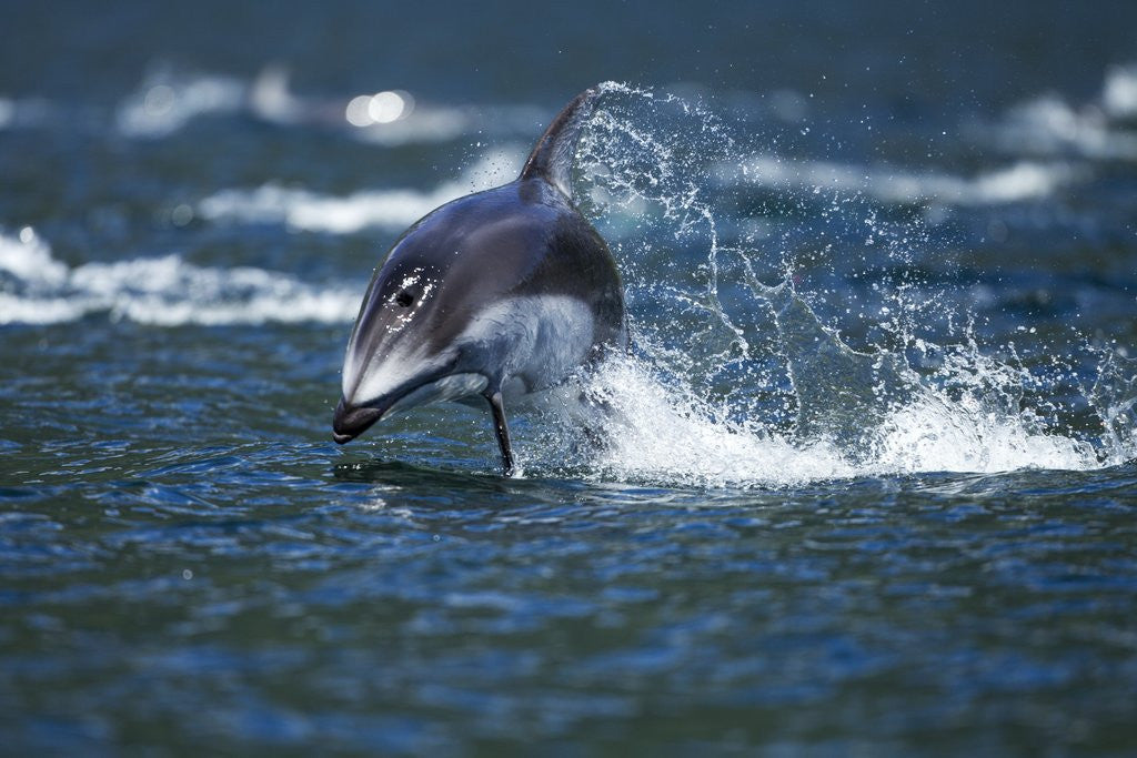Detail of Pacific White-Sided Dolphin, BC, Canada by Corbis