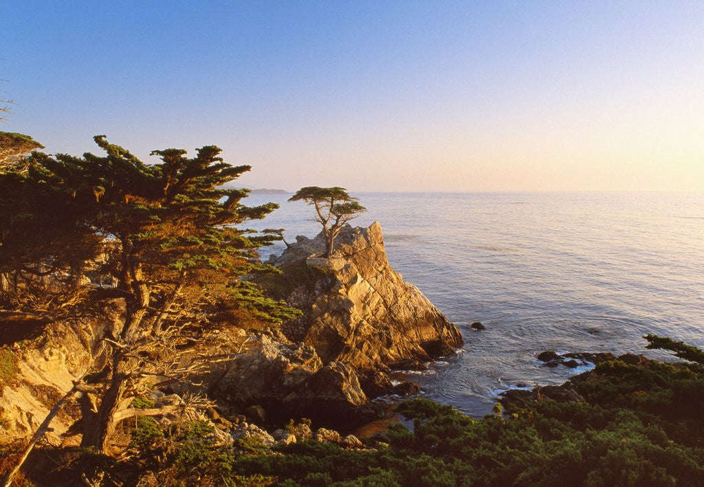 Detail of Lone cypress growing on cliff, California, USA by Corbis