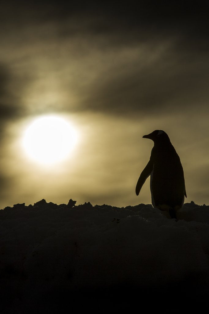 Detail of Gentoo Penguin at Sunset, Antarctica by Corbis