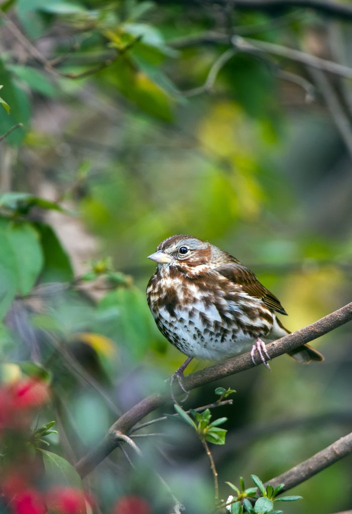 Detail of Fox Sparrow by Corbis