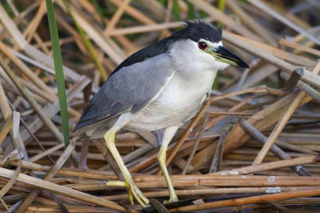 Detail of Black-Crowned Night-Heron by Corbis