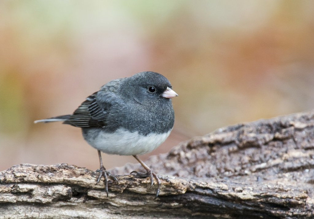 Detail of Dark-eyed Junco by Corbis