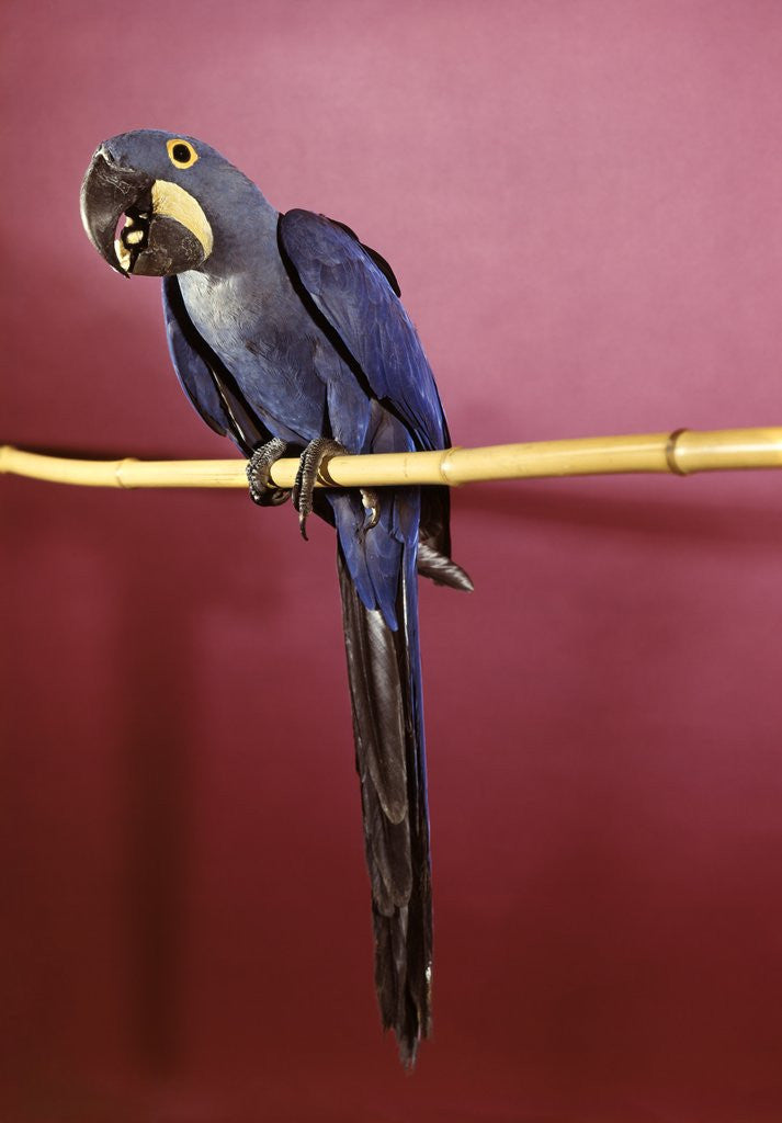 Detail of 1960s Purple Hyacinthine Macaw On Perch In Philadelphia Zoo by Corbis
