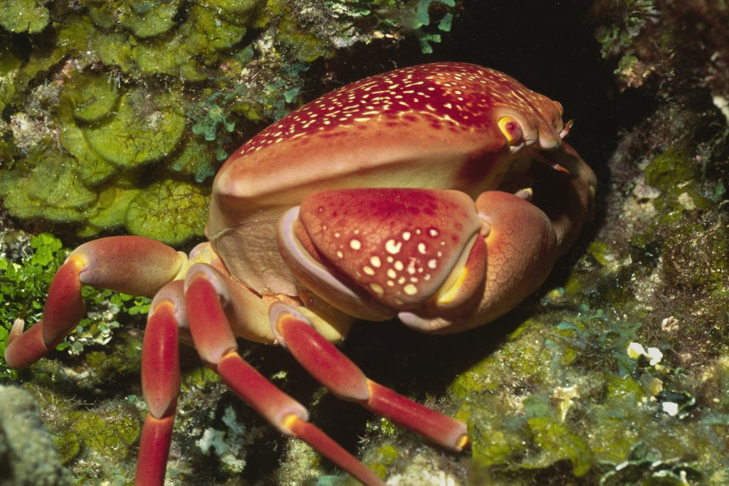 Detail of Batwing Coral Crab by Corbis
