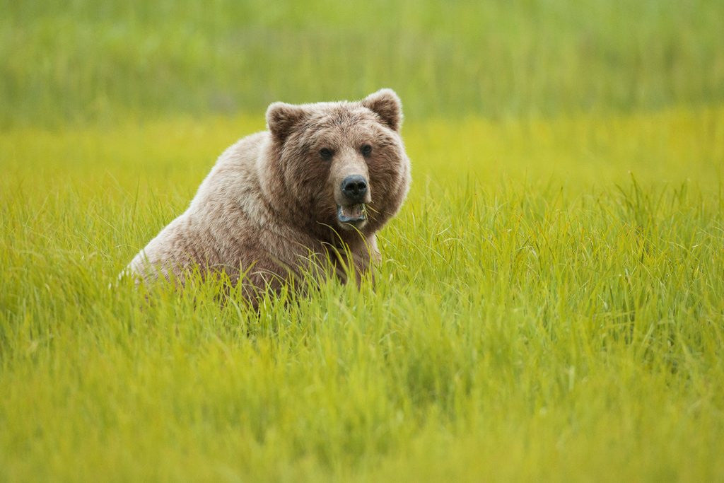 Detail of Grizzly bear eating by Corbis