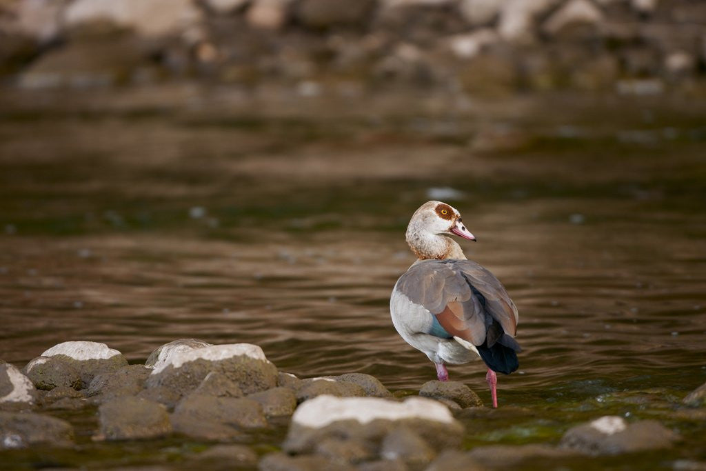 Detail of Egyptian Goose by Corbis