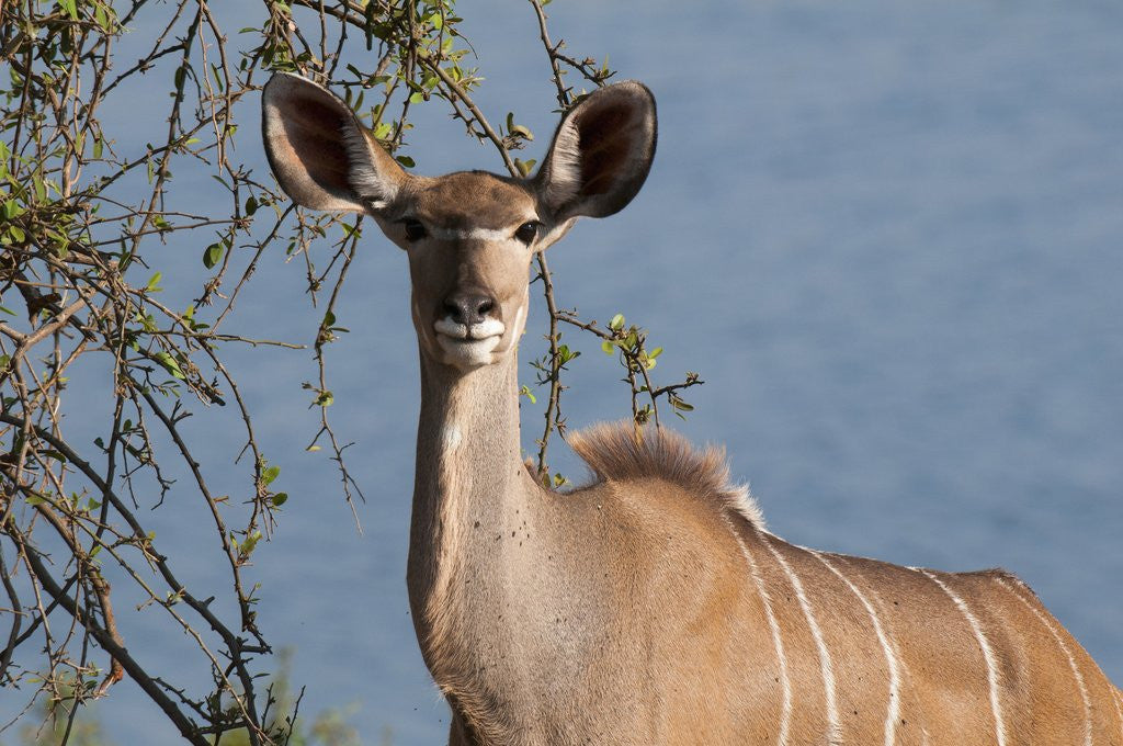 Detail of Female greater kudu by Corbis