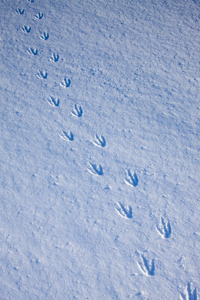 Detail of Gentoo penguin footprints on Anvers Island, Antarctica by Corbis