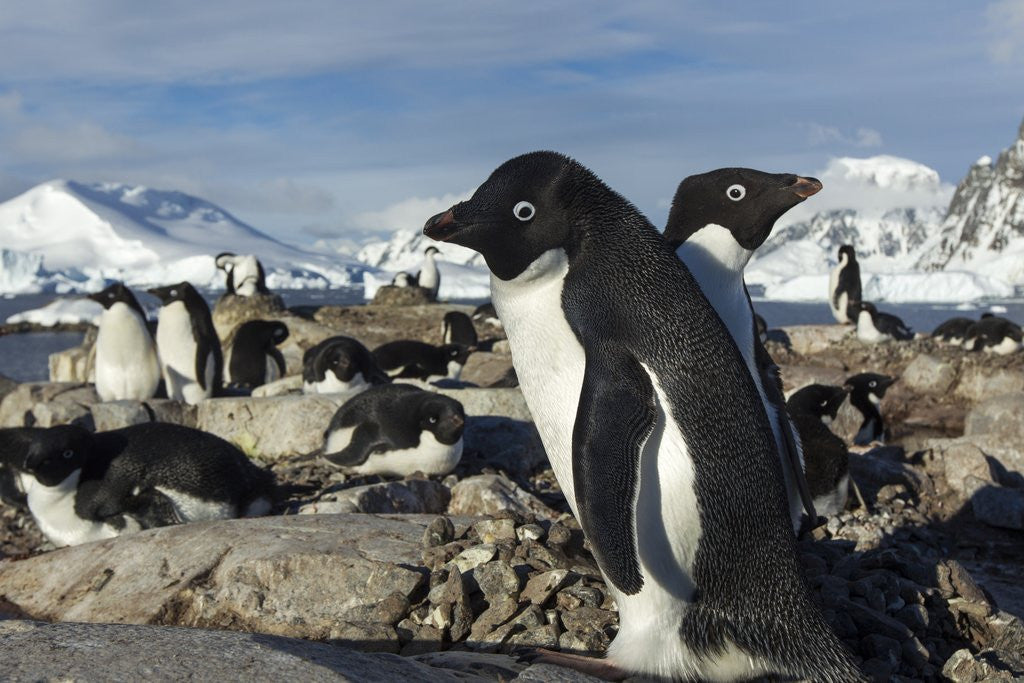 Adelie penguins on Petermann Island, Antarctica by Corbis
