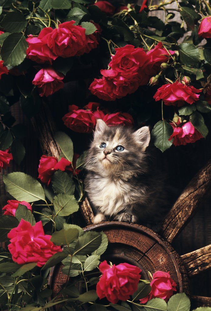 Detail of 1980s blue calico longhaired kitten amid red roses by Corbis