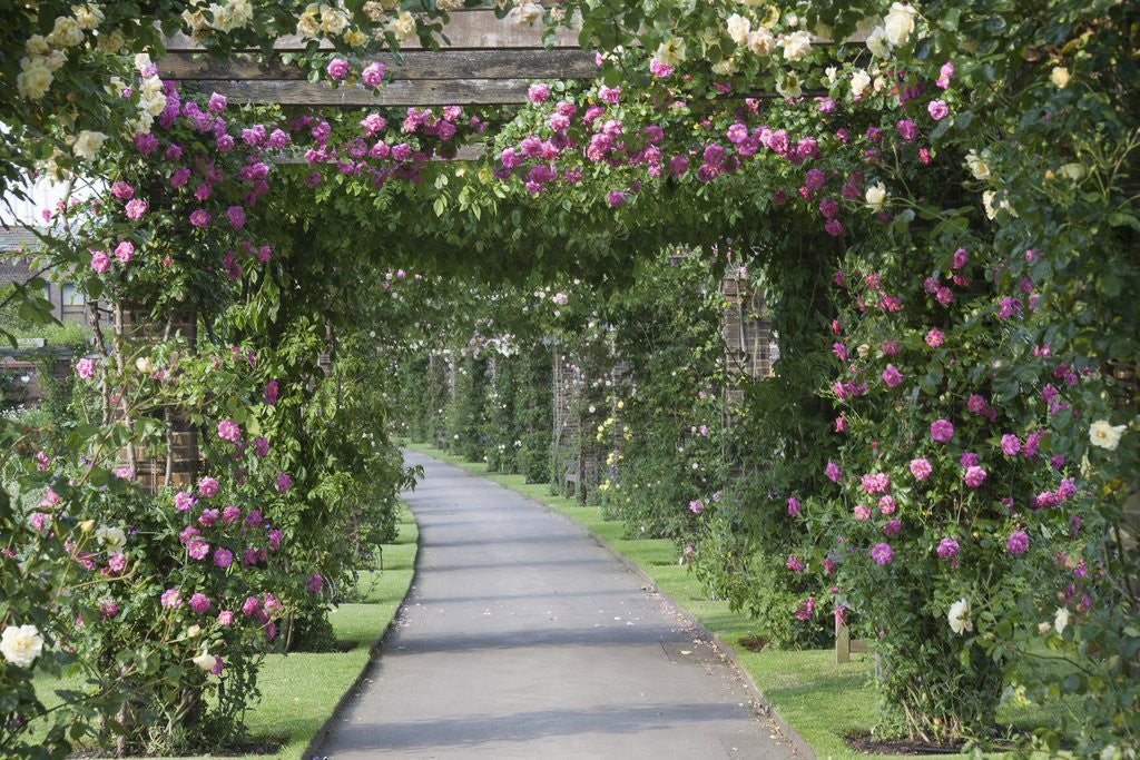 Detail of Arbor of roses by Corbis